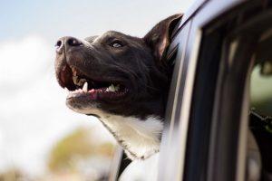 Статья Советы по технике безопасности перевозки собак в автомобиле