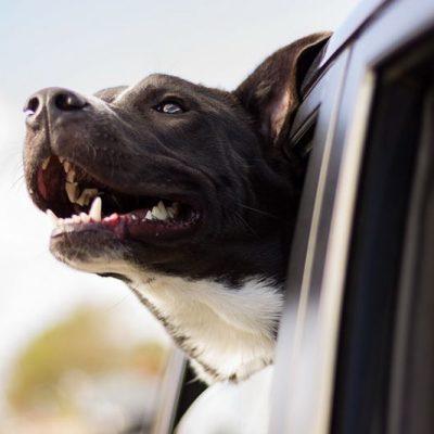 Советы по технике безопасности перевозки собак в автомобиле